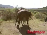 horse mating