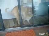 Dog fucks cat