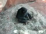 chimp mouth rapes frog