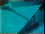 Orca Mating